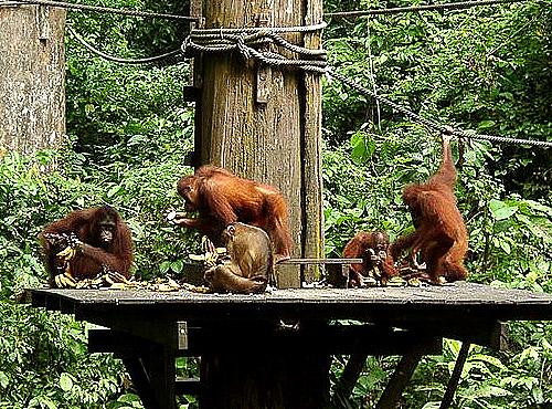 Reserva de Sepilok en Borneo
